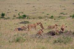 Lion pride at a kill. In Masai Mara Game Reserve, Kenya stock image
