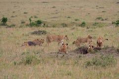 Lion pride at a kill. In Masai Mara Game Reserve, Kenya royalty free stock photo