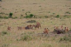 Lion pride at a kill. In Masai Mara Game Reserve, Kenya stock photo