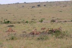 Lion pride at a kill. In Masai Mara Game Reserve, Kenya royalty free stock images