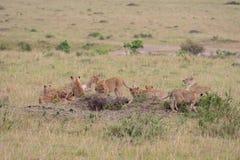 Lion pride at a kill. In Masai Mara Game Reserve, Kenya stock photos