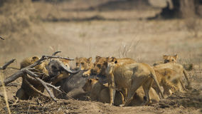 Lion pride killing African Buffalo Stock Image