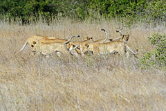 Lion. Pride of lions in the African savannah Solio royalty free stock photo