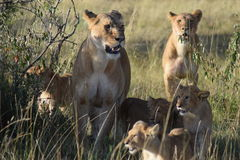 Lion pride Stock Image