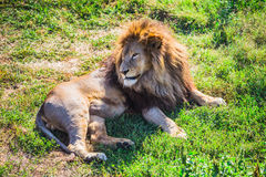Lion Pride in nature Stock Image