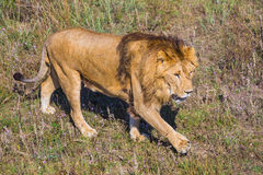 Lion Pride in nature Royalty Free Stock Photo