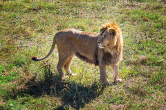 Lion Pride in nature Stock Photography