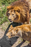 Lion Pride in nature Royalty Free Stock Images