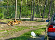 Lion pride near the car in Serengeti park, Germany. Lion pride near the car in Serengeti park, Germany on the green background. Zoo, amimal, wildlife Stock Images