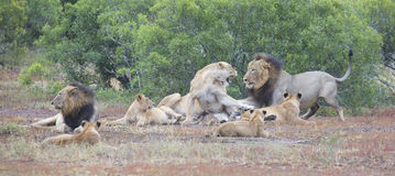 Lion pride resting together and interact in nature open plain Stock Photography