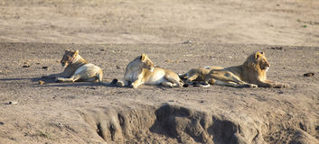 Lion pride resting together and interact in nature open plain Royalty Free Stock Photo