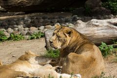Lion pride rests after hunting Royalty Free Stock Photo