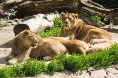 Lion pride rests after hunting Royalty Free Stock Photography