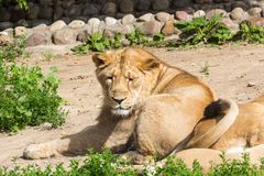 Lion pride rests after hunting Royalty Free Stock Images
