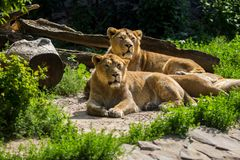 Lion pride rests after hunting Royalty Free Stock Image