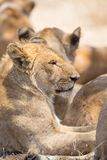 Lion pride rests in Serengeti Stock Images