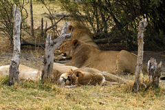 Lion Pride Siesta. The African lion is a symbol of power, courage & nobility on family crests Royalty Free Stock Photo