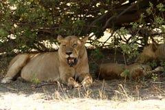 Lion Pride Sleeping Stock Photography