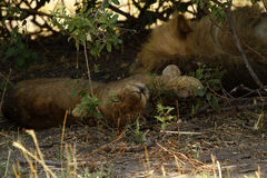 Lion Pride Sleeping Royalty Free Stock Image