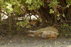 Lion Pride Sleeping Stock Images