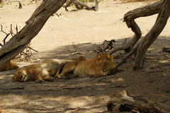 Lion Pride Sleeping Royalty Free Stock Images