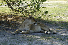 Lion Pride Sleeping Stock Images