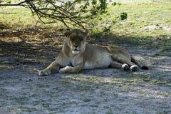 Lion Pride Sleeping Stock Photos