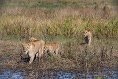 Lion Pride Walking com o delta Foto de Stock