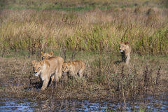 Lion Pride Walking through Delta Stock Photo
