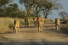 Lion pride walking on sand road. In Kruger National Park stock photography