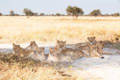 Lion pride. Pride of young lions resting in the shade, Khutse Game Reserve, Botswana, Africa stock image