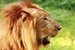 lion proche vers le haut Images stock