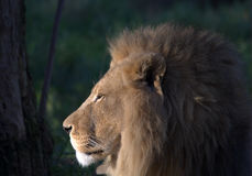 Lion in profile. Lion profile as the sun sets royalty free stock photography