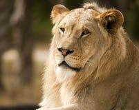 Lion Profile Royalty Free Stock Photos
