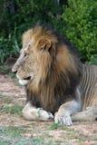Lion Profile Stock Photos