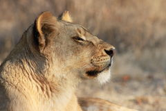 Lion profile. Profile of a proud lion as it rests Royalty Free Stock Image