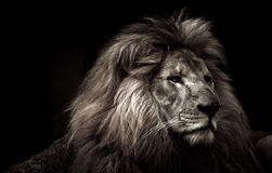 Lion Profile. A Black and White image of a Male Lion Royalty Free Stock Photography