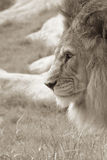 Lion in Profile. Sepia shot of an African lion in profiule stock photo