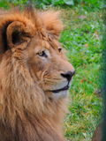 Lion. Profile Royalty Free Stock Image