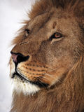 Lion profile close up at snow Royalty Free Stock Photography