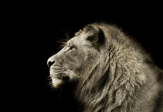 Lion Profile. A lion looks off into the distance Royalty Free Stock Photos