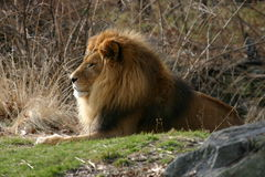 Lion Profile with Mane. Lion on hill profile shot.  Male lion with full mane Stock Photo