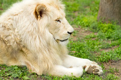 Lion profile portrait Royalty Free Stock Photos