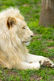 Lion profile portrait Royalty Free Stock Photo