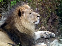 Lion proudly looks into the distance stock photography