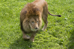 Lion. On the prowl, looking for prey Royalty Free Stock Photos