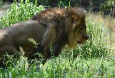 Lion Prowling grande hermoso en hierba verde alta fotos de archivo