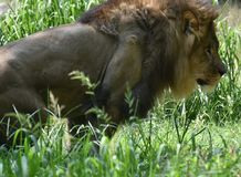 Lion Prowling masculino imponente en hierba alta imagenes de archivo