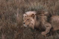 Lion prowling in South Africa Safari