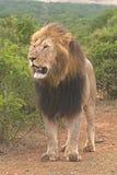 Lion puissant Image libre de droits